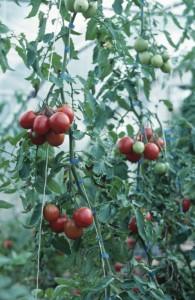 tomaten balkon 195x300